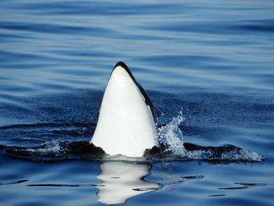 Killer Whale (Orcinus Orca) Spy Hopping, Vancouver Island, British Columbia, Canada