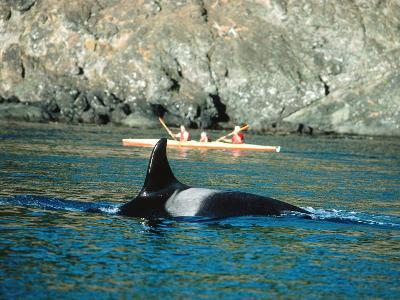 Group of Whale Watchers Observes a Surfacing Killer Whale