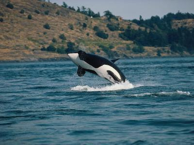 Killer Whale Breaches over Water with Coast in Background