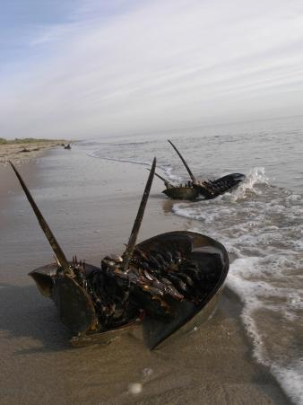 Delaware, Prime Hook National Wildlife Refuge, Horseshoe Crabs Lie Stranded Upside Down