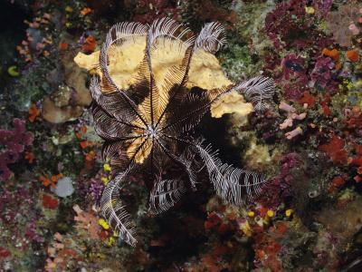 Crinoid or Sea Lily Resting on Coral on Ocean Floor, Bunaken Island, Bunaken National Marine Park
