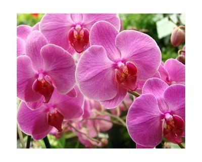 A Orchids I