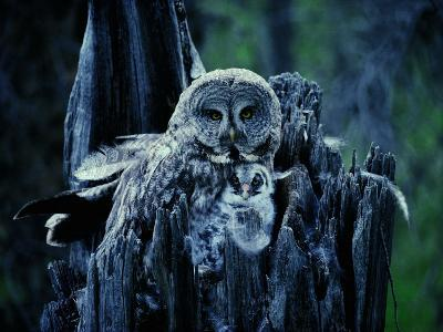 A Great Gray Owl Stays Close to Her Owlet