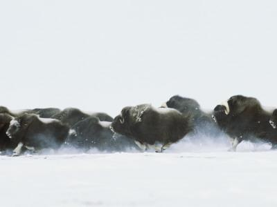 Musk-Oxen, Ovibos Moschatus, Flee from Possible Threat across Tundra