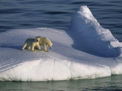 A Mother Polar Bear and Her Cub Ride the Open Seas Aboard an Iceberg