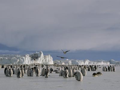 A Colony of Emperor Penguins Convenes at Cape Crozier in Antarctica