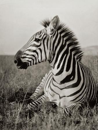 A Burchell's Zebra at Rest in the African Terrain