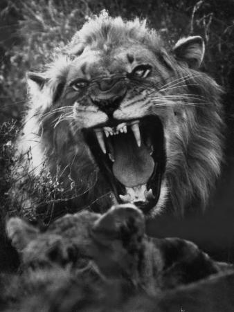 A Male Lion Roars over His Mate