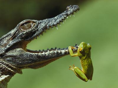 A Year-Old Nile Crocodile Snaps at a Frog, a Favorite Meal