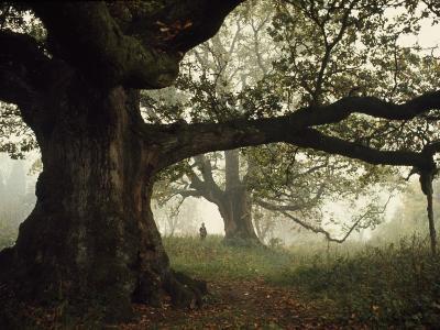 Ancient Trees Dwarf Visitors to Historic Great Birnam Wood