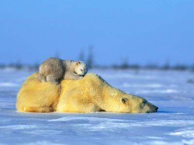 A Polar Bear, Ursus Maritimus, with Her Cub