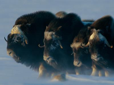 Musk-Oxen, Ovibos Moschatus, Huddle in a Protective Formation