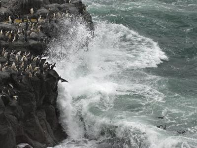 Chinstrap Penguins Leap from a Volcanic Rock Cliff into Seething Surf