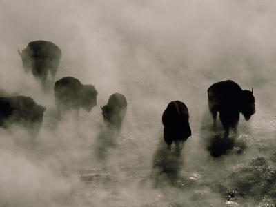 Silhouettes in the Mist, American Bison Search for Food, Midway Geyser Basin, Yellowstone, Wyoming