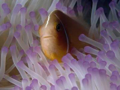 A Pink Anemonefish Seeks Shelter Among the Tentacles of a Sea Anemone