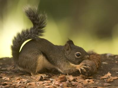 A Douglas Squirrel Gnaws on a Pine Cone from the Giant Sequoias