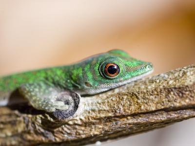 A Gecko on a Branch