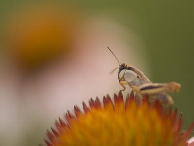Magnification of a Grasshopper Sitting on a Purple Coneflower Plant