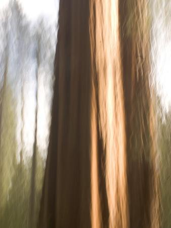 Two Giant Sequoias Capture the Light in the Merced Grove in Yosemite