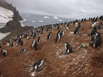 A Chinstrap Penguin Colony with Adults and Chicks on Thule Island
