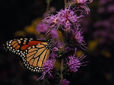 Monarch Butterfly Sipping Nectar from Wildflowers