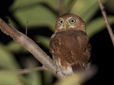 A Ferruginous Pygmy Owl, Glaucidium Brasilianum, on a Tree Branch