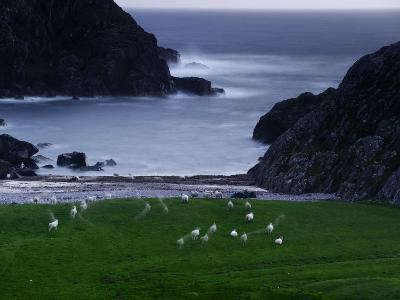 A Flock of Sheep Graze on Seaweed on Iona's Beach
