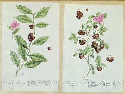 Tea and China Tea, Plate from 'Herbarium Blackwellianum' Published 1757 in Nuremberg, Germany