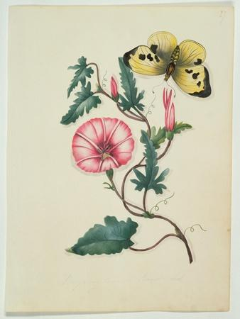 Convolvulus with Yellow Butterfly, from `Flowers', an English Botanical Manuscript, C.1840