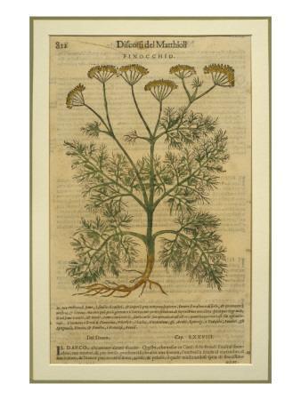 Fennel, a Botanical Plate from the 'Discorsi' by Pietro Andrea Mattioli