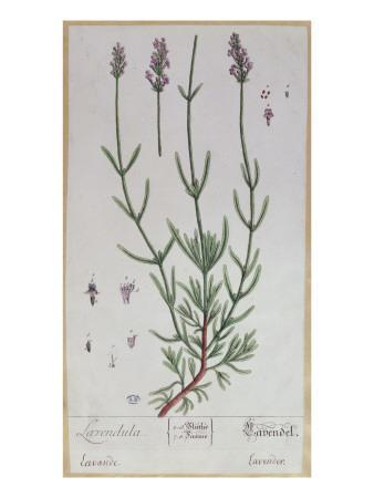 Lavender, Plate from 'Herbarium Blackwellianum' by the Artist, 1757