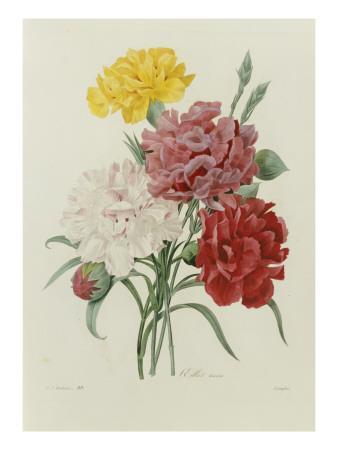 Carnations, from 'Choix Des Plus Belles Fleures', C.1833