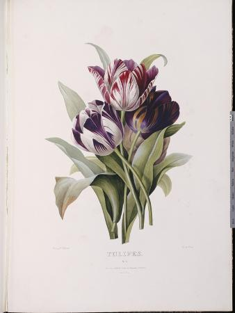 Tulips, from 'A Fine Series of Floral Bouquets'