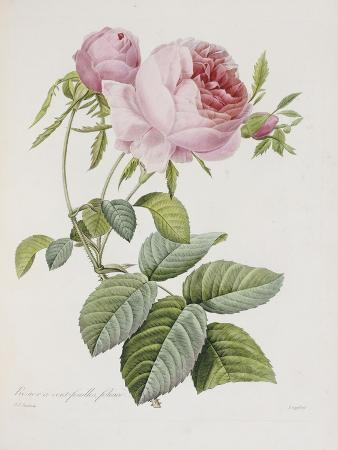 Rose, Engraved by Eustache Hyacinthe Langlois