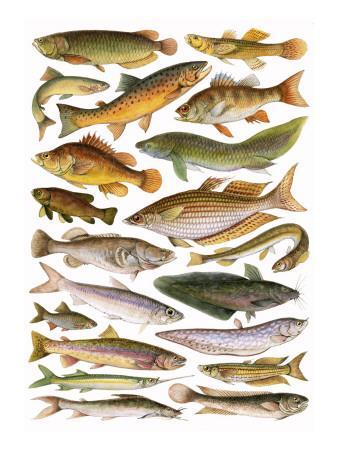 Fresh Water Fishes of the Empire - Australian Region