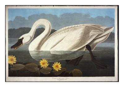 Common American Swan. Whistling Swan