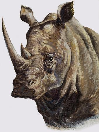 White Rhinoceros, 1980
