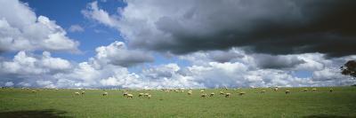 Sheep Grazing, New South Wales, United Kingdom, Australia