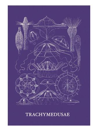 Jellyfish: Trachymedusae