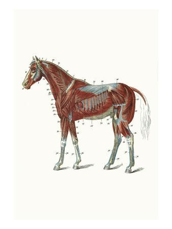 External Muscles and Tendons of the Horse