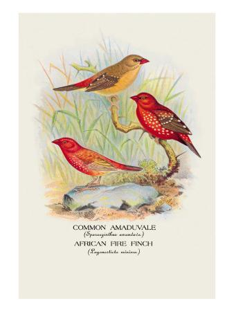 Common Amaduvale, American Fire Finch