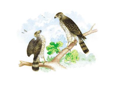 Sharp Skinned Hawk with Broad Wing Hawk