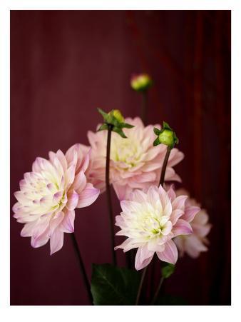 Pink Dahlias I
