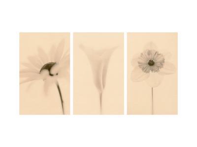 Faint Petals Triptych