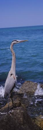 Great Blue Heron Perching on a Rock, Gulf of Mexico, Florida, USA