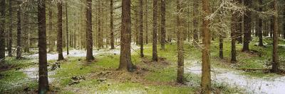 Spruce Trees in a Forest, Joutseno, Southern Finland, South Karelia, Finland