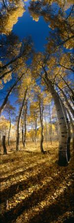 Aspen Trees in the Forest, Alpine Loop, Colorado, USA