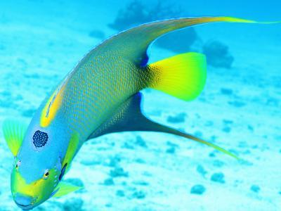 Queen Angelfish (Holacanthus Ciliaris), Paradise Reef