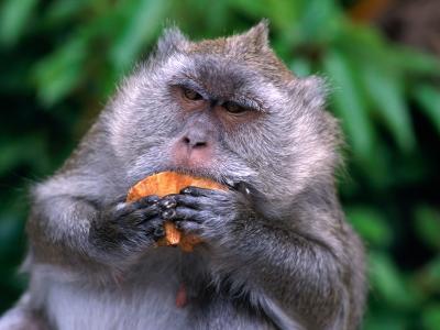 Grey Monkey Eating in Grand Bassin