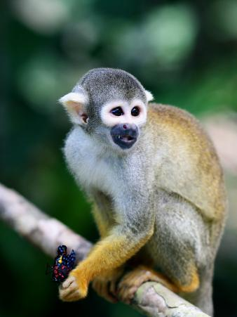 Squirrel Monkey (Saimiri Sciureus) About to Eat a Colourful Butterfly at an Animal Rescue Centre